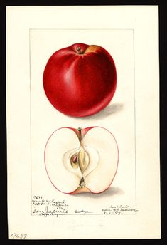 Malus domestica: San Jacinto Artist: Arnold, Mary Daisy, ca. 1873-1955. Date created: 1899-08-08 Rights: Use of the images in the U.S. Department of Agriculture Pomological Watercolor Collection. U.S. Department of Agriculture Pomological Watercolor Collection. Rare and Special Collections, National Agricultural Library, Beltsville, MD 20705