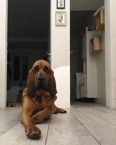 """387 Likes, 3 Comments - Bloodhound Gram ® (@bloodhoundgram) on Instagram: """"Photo from @chloebloodhound ☺️ #bloodhoundblast #dogsofinsta #chiendesainthubert #puppy…"""""""