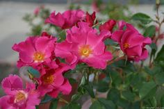 'Playgirl ' Rose Photo