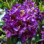 Rhododendron Marcel Menard Get Care Advice To Your Inbox Every Month Add This Plant Personal List