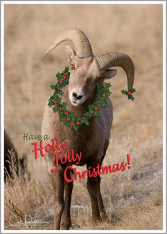 Card Note Greeting Christmas Holiday Wildlife Big Horn Sheep Ram Photo Nature Cheerful Fun 3 Pack Original Photography 5x7 Inch Heavy Weight by ImagesByCat on Etsy