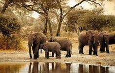 Elefantes en el P.N. Tarangire -   Elephants in N.P. Tarangire (August 2005)    www.vicentemendez.com