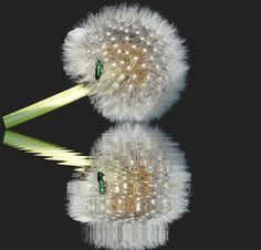 De fleurs de pissenlits