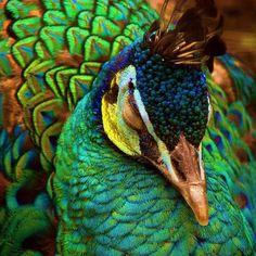 "siftingthroughvariety: "" peacock """