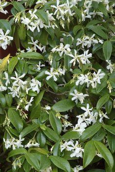 Trachelospermum Jasminoides, All Plants, Garden Plants, Landscaping Plants, Shade Garden, Garden Inspiration, Trees To Plant, Home And Garden, Herbs