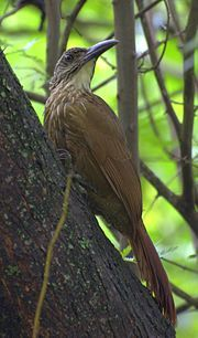Arapaçu-de-garganta-branca