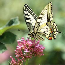 adult insect of the french species: Grand porte-queue... mommy butterfly!