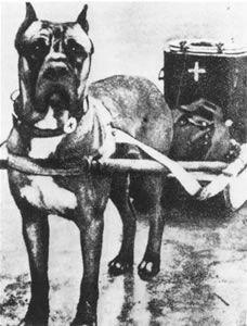 Cane Corso early 1900's.