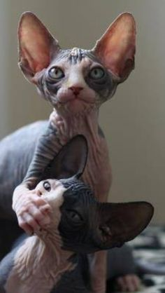 """Keep quiet or else they'll hear you,"" demanded a Sphynx kitty cat to his nervous feline friend. I Love Cats, Crazy Cats, Cool Cats, Funny Cats, Funny Animals, Cute Animals, Sphynx Gato, Hairless Cats, Beautiful Cats"