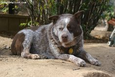 Australian Cattle Dog, 12, Chocolate, Katie was with us for 12 years.