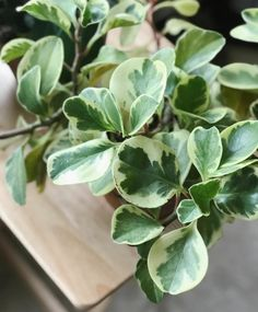 peperomia plant care page, houseplants, easy h… - Spinach Ideen Indoor Garden, Indoor Plants, Ti Plant, Peperomia Plant, Flower Pot Design, Rubber Plant, Variegated Plants, Large Plants, Large Plant Pots
