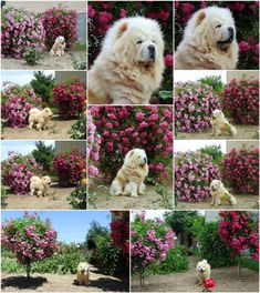 My  beauteous cream chow-chow, Broken Hill's Heart Playboy among our wonderful roses in 2018, in 2017 and in 2016. In 2 years everything changed, Playboy and the roses also grew a lot! ❤️