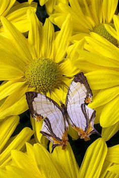 Exotic Map Butterfly Photo