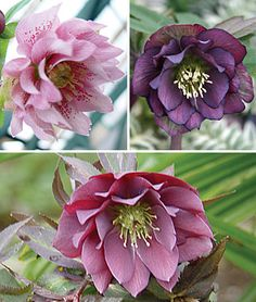 Hellebore, Double Spring Collection Exclusive mix of early spring blooming favorites. A beautiful collection.