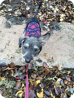 Verona, NJ - Schnauzer (Miniature) Mix. Meet Becky, a puppy for adoption. http://www.adoptapet.com/pet/12049837-verona-new-jersey-schnauzer-miniature-mix