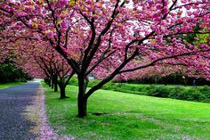 Waiting for Springtime when My Cherry Blossom Trees Will Look Like This <3
