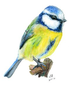 My watercolour pencil drawing of a blue tit bird.  Another common visitor to British gardens.  You can buy a print of this drawing on Etsy. This drawing was created on watercolour paper using Derwent watercolour pencils. Drawn: 23 September 2016 Media: Paper, Watercolour Pencil Buy a print of this drawing on Etsy.com