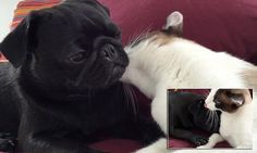 Cute video shows Nevada the cat LICKING Congo the pug to sleep