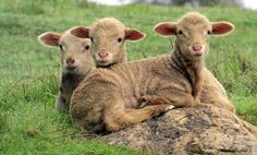 FARMHOUSE – ANIMALS – lamb stick together through thick and thin.