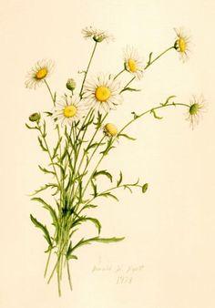 Botanical illustration of daisies.