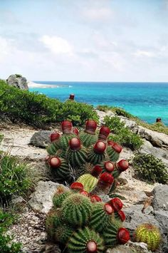 Blowing Point Anguilla with gorgeou ball cactus! Unusual Plants, Exotic Plants, Cool Plants, Air Plants, Cacti And Succulents, Planting Succulents, Planting Flowers, Cactus Plante, Desert Plants