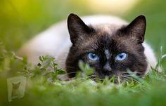 Cute Kittens, Cats And Kittens, Ragdoll Kittens, Cool Cats, Gatos Cool, Gato Grande, Bear Hunting, Himalayan Cat, Photo Chat