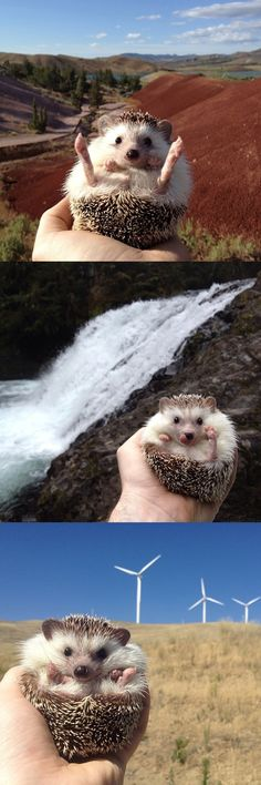 Biddy the traveling hedgehog is so cute we might die.