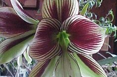 Hippeastrum Papilio Butterfly Amarylis glasshouseworks.com