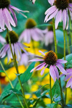 Bíbor kasvirág Garden, Plants, Garten, Lawn And Garden, Gardens, Plant, Gardening, Outdoor, Yard