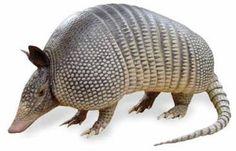 Image - Le Tatou (Armadillo) / Dasypus - animaux-animal : LE blog pour apprendre à... - Skyrock.com