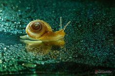 Snail by castillocesar