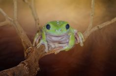 looking at you by Baihaki Abay on Cute Frogs, Frog And Toad, In The Tree, Snails, Dragonflies, Butterflies, Attitude, Wildlife, Kiss