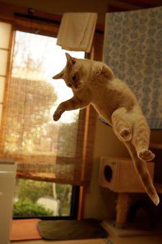 """いわさき@日曜日ネ-13a@コミカライズ版ゼロの書6巻発売中さんのツイート: """"過去最高に良い感じの飛び猫撮れました! https://t.co/jcPRFuB01M"""""""