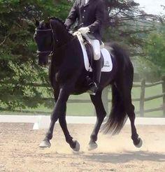 Don Rico - Hannovarian Stallion