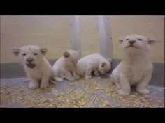 These 8-Week-Old Endangered White Lion Cubs Are The Newest Furry Superstars On Social Media - We Love All Animals
