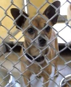 PLEDGES AND RESCUE NEEDED!  A4801158 I don't have a name yet and I'm an approximately 6 year old female chihuahua sh. I am not yet spayed. I have been at the Downey Animal Care Center since February 17, 2015. I will be available on February 21, 2015 -- D524.