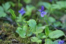 Luhtaorvokki (Viola uliginosa)