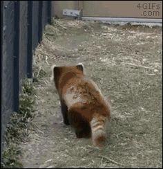 Dancing red panda swiggity swooty - Imgur