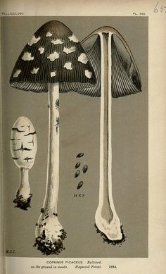 Illustrations of British Fungi (Hymenomycetes),By Cooke, Mordecai Cubitt, 1881-91