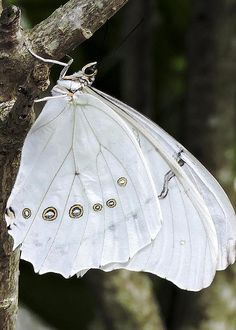 White Morpho Butterfly by Penny Lisowski