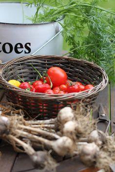 Tomaatin kasvatus - kaverit ja vihamiehet