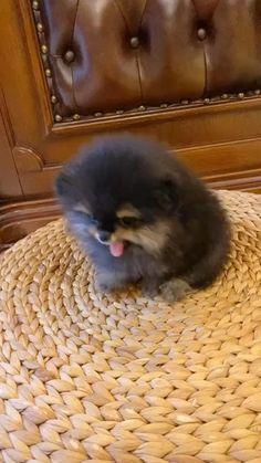 Cute Baby Puppies, Bulldog Puppies, Cute Dogs, Cute Little Animals, Little Dogs, Happy Animals, Animals And Pets, Funny Animal Memes, Funny Animals