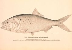 An Atlantic menhaden, a bony, oily fish that has been the subject of warring factions of fishermen and coastal communities for the better part of two centuries