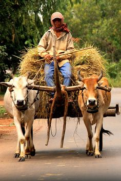 for animals brasil Zero Carbon Emission (Cambodia) Bullock Cart, National Geographic Animals, Angkor Wat Cambodia, Village Photography, Cambodia Travel, Animal Society, We Are The World, Second World, Funny Animal Pictures
