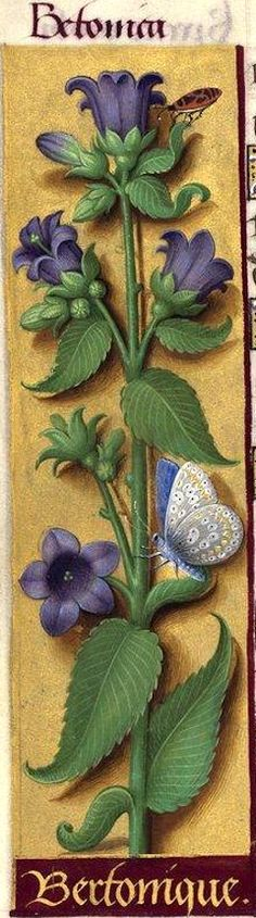 Bertonique - Betonica (Campanula medium L. = campanule carillon) -- Grandes Heures d'Anne de Bretagne, 1503-1508.