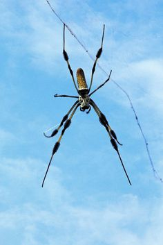 Look out for these along your summer hike 'Golden Silk Spider II' by Dawn Currie - http://1-dawn-currie.artistwebsites.com/featured/golden-silk-spider-ii-dawn-currie.html?utm_content=bufferb3ab3&utm_medium=social&utm_source=pinterest.com&utm_campaign=buffer #insects