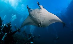 New Study Disproves Long-Held Belief About Manta Rays