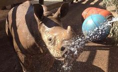 It's hard to believe it's almost a year since Kipenzi was born at Werribee Open Range Zoo. And while she has had some health challenges along the way, Keepers are preparing for her next big milestone... full contact with the adult rhinos!  More details: http://www.zoo.org.au/news/kipenzi-reaches-new-milestone