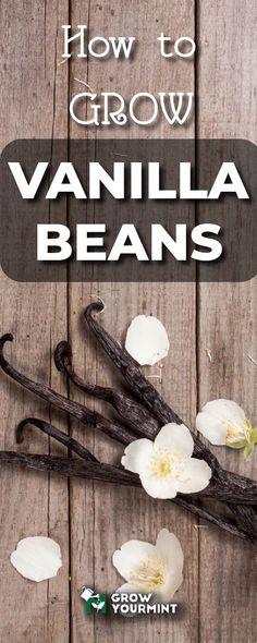 How to grow vanilla beans - a tough task, but worth doing! #garden #gardening #growyourmint