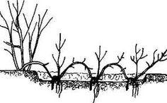 Размножение роз отводками, делением куста и ростками